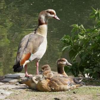Jeunes ouettes d'Egypte avec un oiseau adulte, © Gaby Schulemann-Maier