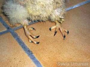 Rachitis in den Beinen eines jungen Turmfalken, © Greifvogelhilfe.de
