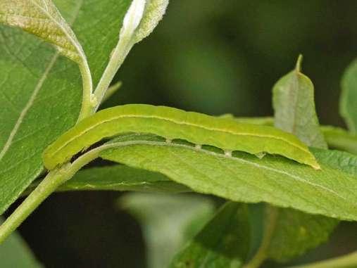 Unbehaarte, grüne Raupen wie diese sind ein gutes Futtermittel für die Jungtiere vieler Vogelarten, © Gaby Schulemann-Maier