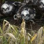 Junge Rohrweihen, © Komitee gegen den Vogelmord