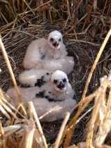 Junge Rohrweihen in ihrem Nest, © Komitee gegen den Vogelmord