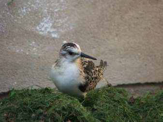 Bécasseau sanderling adulte, © Dagmar Offermann
