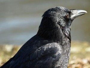 Der Schnabel einer Rabenkrähe (Corvus corone) ist groß und robust - diese Vögel sind Allesfresser, © Gaby Schulemann-Maier