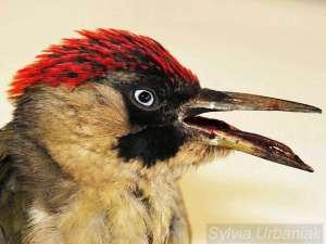 Grünspechtweibchen mit blutigem Unterschnabelbruch, der Vogel musste leider eingeschläfert werden, © Greifvogelhilfe.de