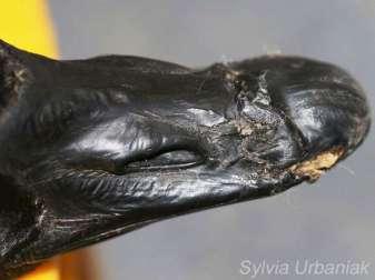 Schnabelbruch bei einer Kanadagans, © Sylvia Urbaniak