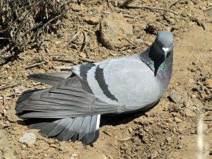 Sich sonnende Taube, © Gaby Schulemann-Maier