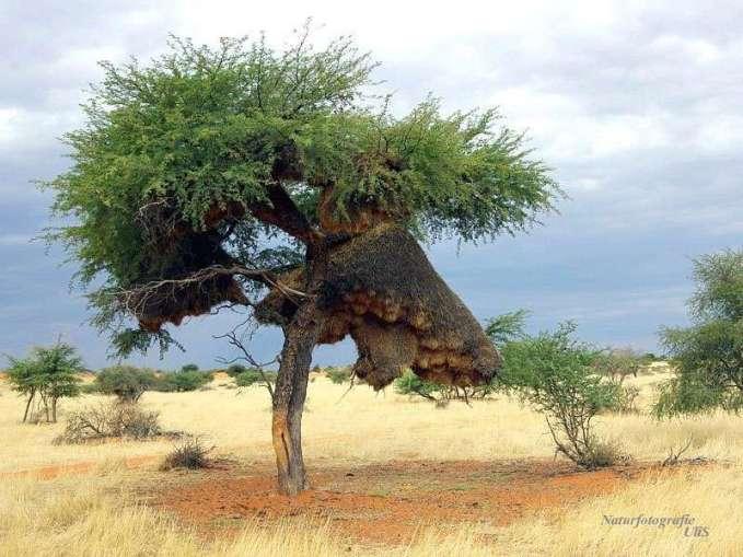 Siedelweber-Nest (Philetairus socius), © Ulrike Schopp