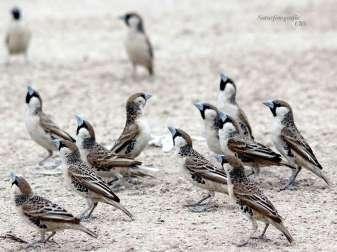 Eine Gruppe Siedelweber (Philetairus socius), © Ulrike Schopp