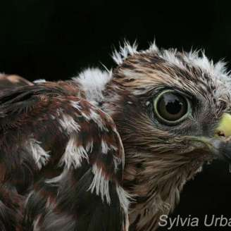 Jeune épervier d'Europe, © Greifvogelhilfe.de