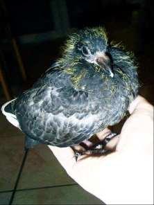 Jeune pigeon biset féral, © Sandra Biesenbaum