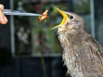 Junger Star bei der Fütterung, © Sylvia Urbaniak