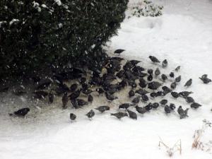 Starenschwarm sucht im Winter nach Futter, © Corinna Heinrich