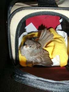 Eine kleine Transportbox für Heimtiere ist eine gute Unterbringung für junge Wildvögel, © Monika Löffler-Frierich