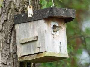 Im April kommen Trauerschnäpper aus ihren Winterquartieren zurück und ihre bevorzugten Nistkästen sind dann oft schon von anderen Vögeln belegt. Dieses Tier hatte Glück. © Gaby Schulemann-Maier