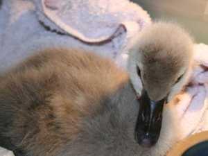 Junger Trauerschwan, © Tanja Kahlert
