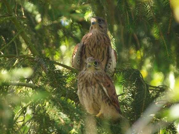 Jeunes faucons crécerelles, © Uwe Ross