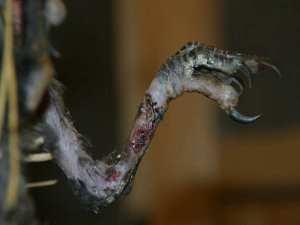 Durch eine Abschnürung wurde das Bein dieser jungen Rabenkrähe schwer verletzt, © Verein für kleine Wildtiere in grosser Not