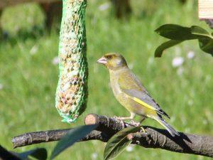 Auch Grünfinken lassen es sich am Futterplatz im Garten schmecken, © Patrizia Syz