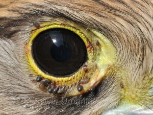 Zecken am Auge eines Turmfalken, © Greifvogelhilfe.de