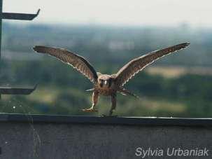 Jeune faucon pèlerin mâle, © Greifvogelhilfe.de