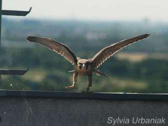 Jugendlicher männlicher Wanderfalke (Terzel), © Greifvogelhilfe.de