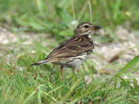 Pipit farlouse adulte, © Gaby Schulemann-Maier