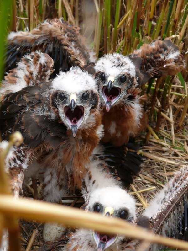 Junge Wiesenweihen, © Komitee gegen den Vogelmord