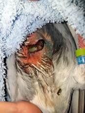 Wunde wurde vom Tierarzt aufgefrischt und Federn im Wundgebiet entfernt (in Sedierung),© Vanessa Franz