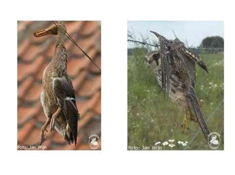 Das Stockentenweibchen (links) ist zwischen die Drähte eines Weidezauns geraten und der Baumfalke hat sich in einem Stacheldrahtzaun verfangen, © Jan Wijn/Stiftung Vogelauffang Region Eindhoven