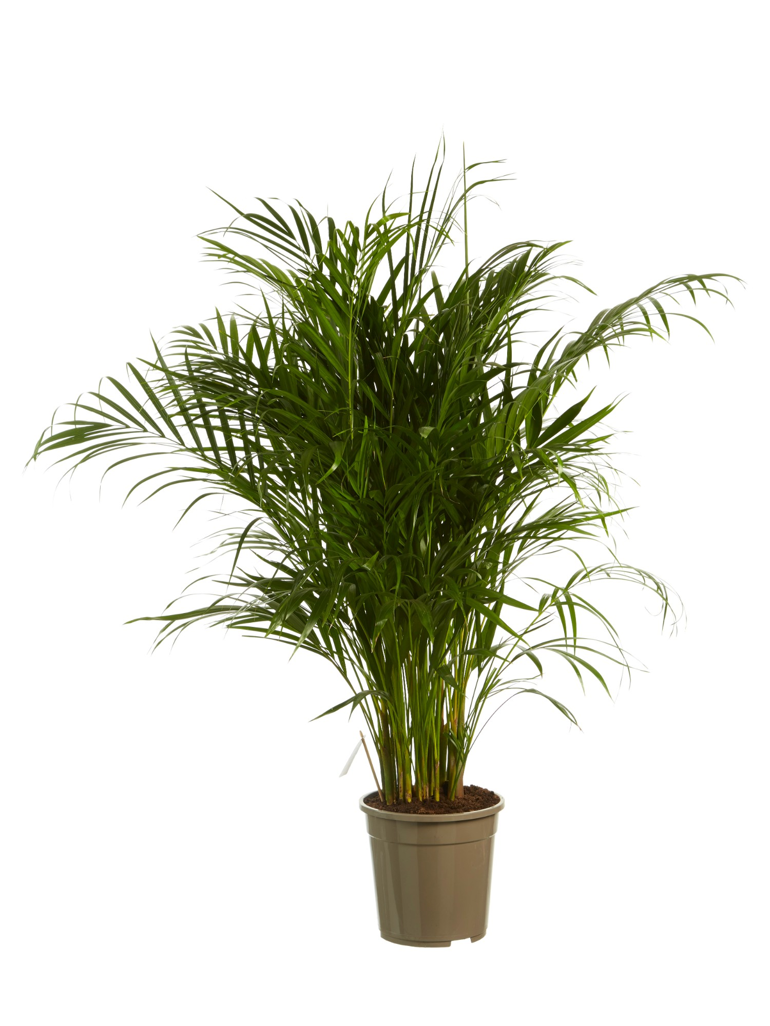 BOTANICLY  Zimmerpflanze  Goldfruchtpalme  Hhe 120 cm