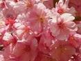 河津桜とはどんな桜?見ごろはいつ?桜まつり開催日
