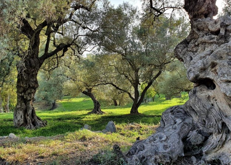 Spanish olive groves can be good areas for biodiversity