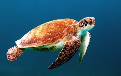 Turtle Tortoise Swim in Sea