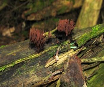 Ryan Tomazin- chocolate tube slime mold Stemonitis sp.