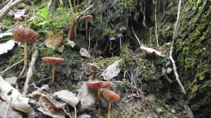 Documentary 3rd Place - Laccaria amethystina (amethyst deceivers) - Steve Leninsky