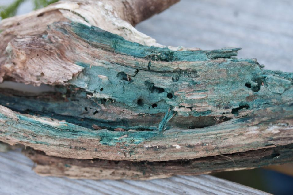 Chlorociboria aeruginascens, Green blue stain by Richard Jacob