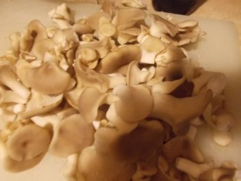 Pleurotus pulmonarius harvested