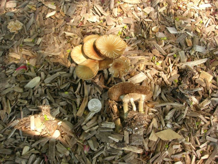 Agrocybe dura (Hard Agrocybe). By Dick Dougall.