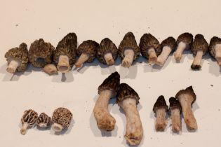 Mixture of morels collected at Pine Ridge park.
