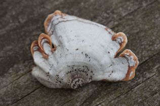 Stereum ostrea (False Turkey-tail) by Richard Jacob