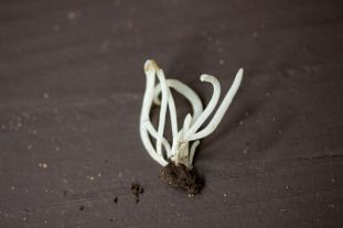 Clavaria vermicularis or White Worm Coral Fungus). By Richard Jacob.