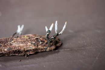 Xylaria hypoxylon (Carbon Antlers or candlesnuff fungus). By Richard Jacob