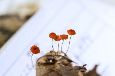 Marasmius siccus. By Brian Johanson.