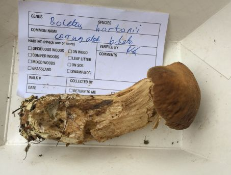 Boletus hortonii or Corrugated Bolete. By Richard Jacob.