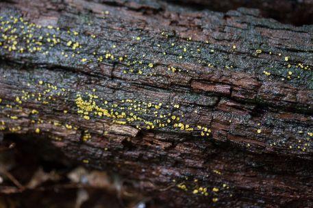 Chlorosplenium chlora. On wood. By Richard Jacob