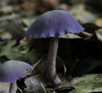 Judge's Option 3rd Place: Brian Johanson - Laccaria amethystine - Amethyst Deceiver