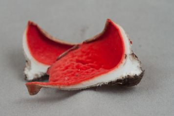 Sarcoscypha austriaca. 1007 Cut in half. By Richard Jacob