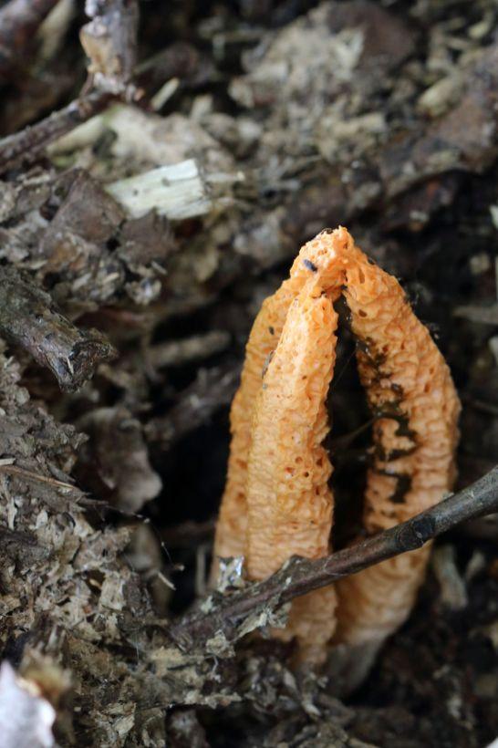 Pseudocolus fusiformis. By Brian Johanson