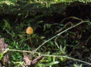 Rickenella fibula. By Richard Jacob