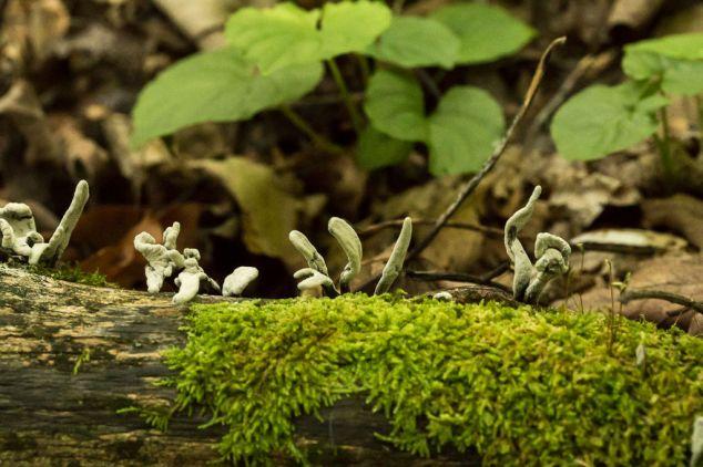 Xylaria longipes. By Richard Jacob
